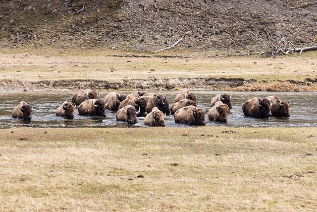 YellowstoneBisonCrossingMadison