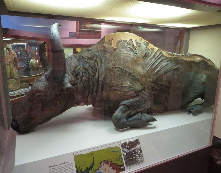 Steppe_bison_mummy