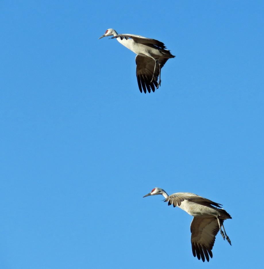 CranesFlying2